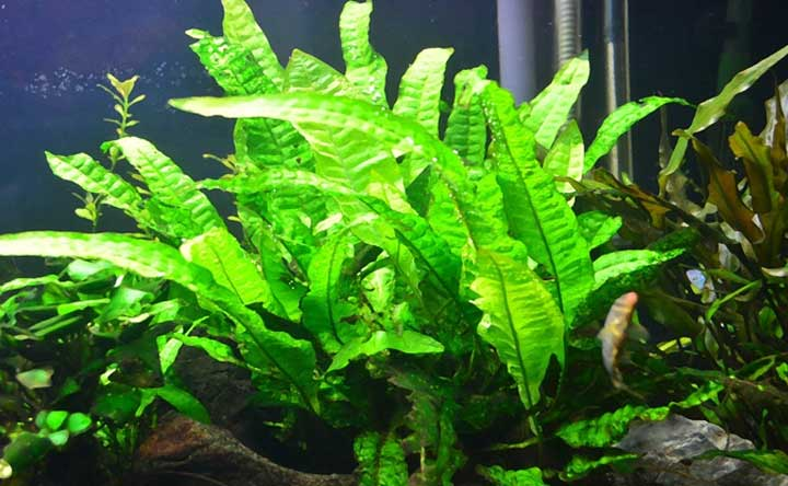 Aquatic Plant - Java Fern