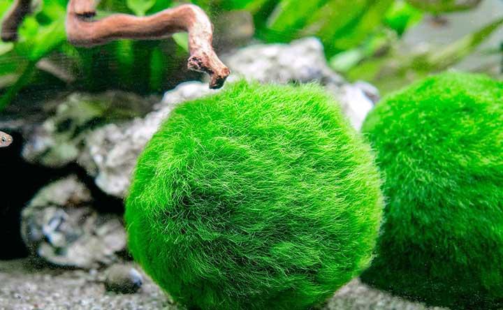 Aquatic Plant - Marimo Moss Balls