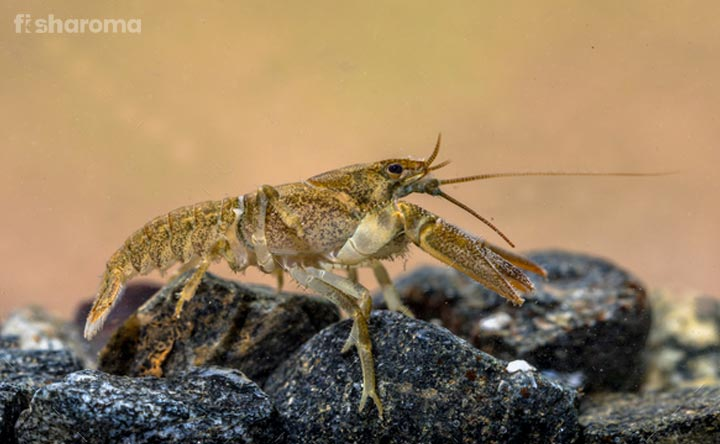 Crayfish Diet