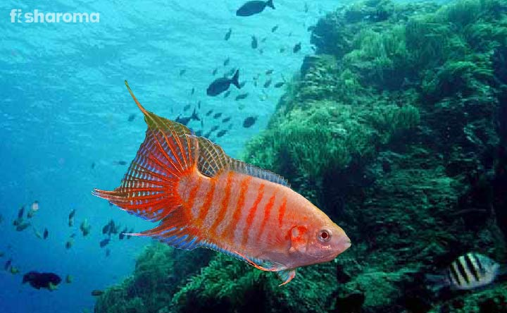 Care Guide of Paradise Fish