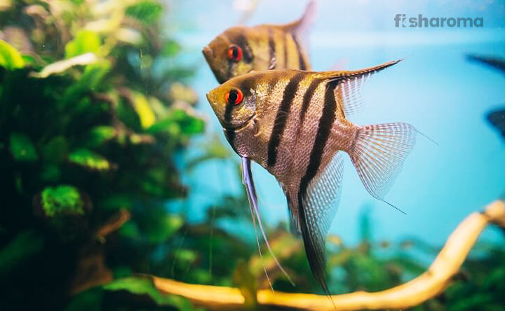 Freshwater Angelfish Care Guide