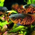 The Different Kinds of Oscar Fish