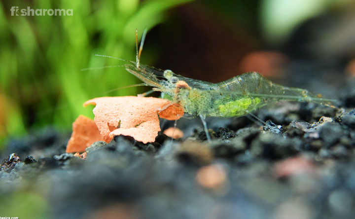 What do Ghost Shrimp Eat? - A Detailed Guide