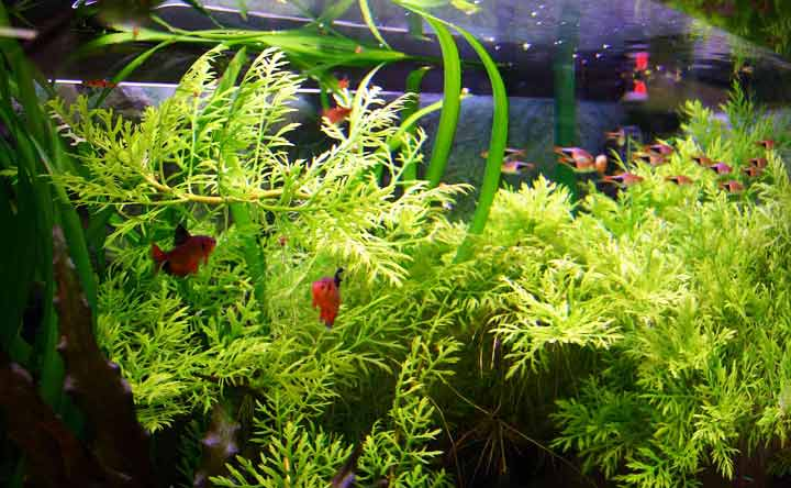 Live Plants for Betta Fish Tank Decorations