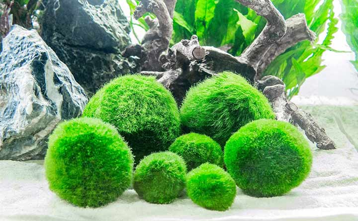 Marimo Moss Ball for Betta Fish Tank Decorations