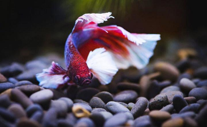 Rocks for Betta Fish Tank Decorations