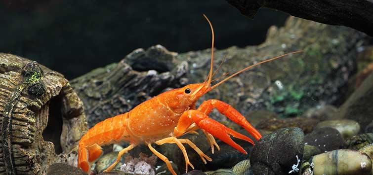 Mexican Dwarf Crayfish