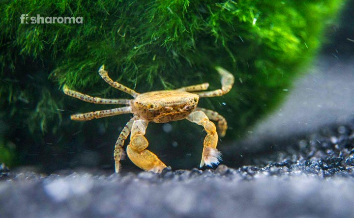 Freshwater_Pom_Pom_Crab_Care_Guide