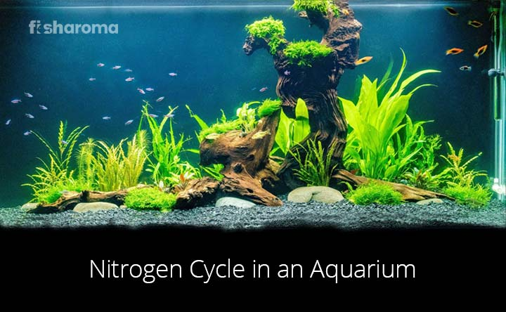 Nitrogen Cycle in an aquarium