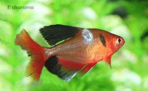 Fish Fungal Diseases
