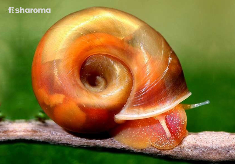 Ramshorn Snail Care Guide
