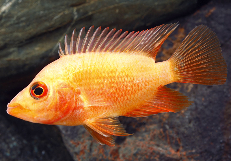 Red_Devil_Cichlid Care Guide