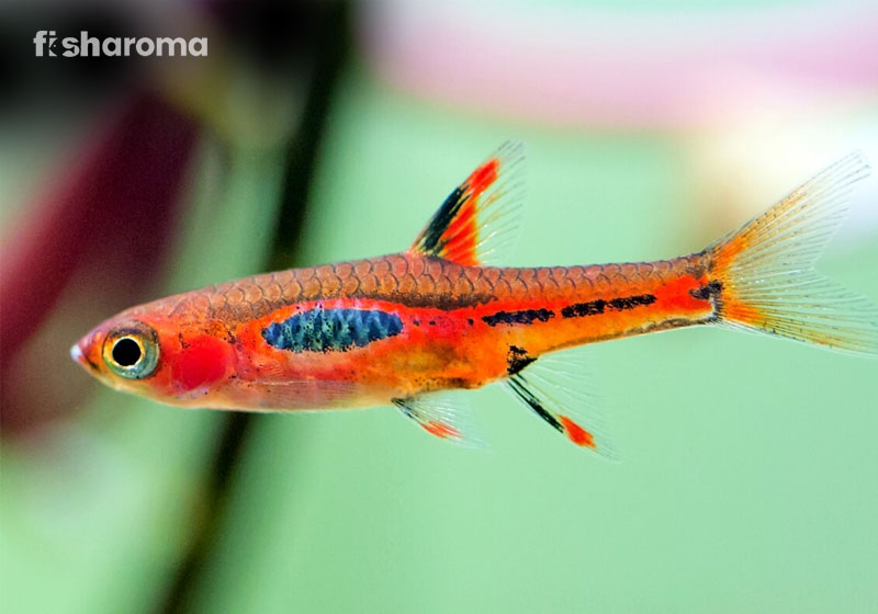 Chili Rasbora Care Guide